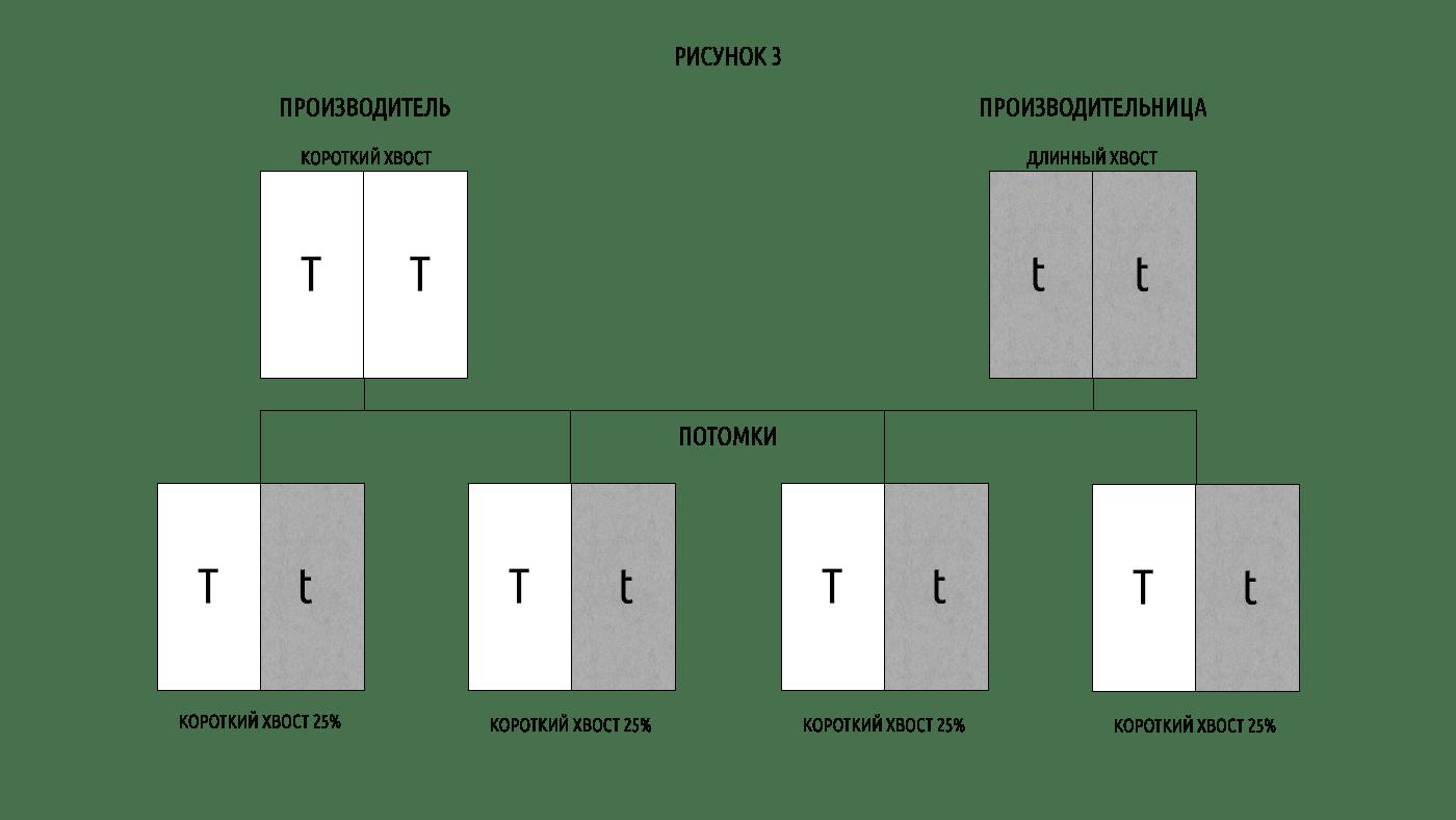Таблица 3 ген куцего хвоста